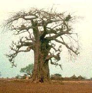 baobab_tree