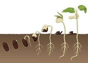 tohum-bitki